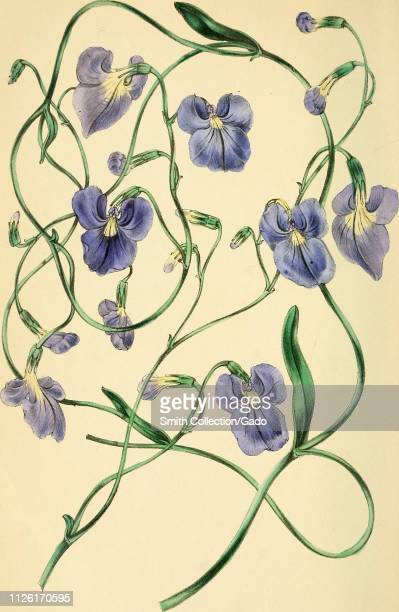 Engraved drawing of the Variousleaved Lobelia largeflowered variety from the book 'Paxton's Magazine of Botany' by Sir Joseph Paxton 1842 Courtesy...