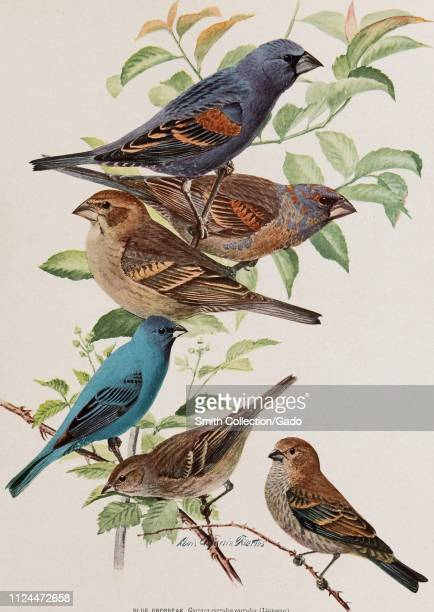 Engraved drawings of the Blue Grosbeaks and Indigo Buntings from the book 66th Annual Report by the New York State Museum 1902 Courtesy Internet...