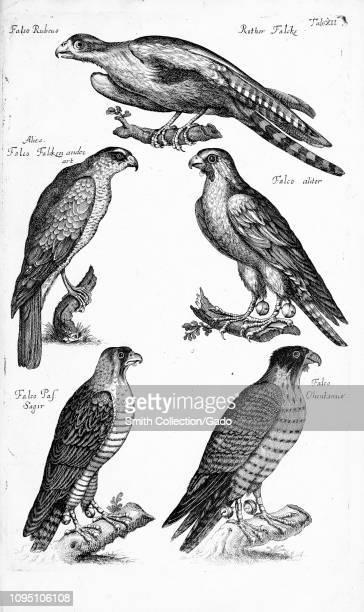 Engraved drawings of various species of Falcons from the book 'Historiae naturalis de quadrupetibus libri' by Joannes Jonstonus and Matthaeus Merian...