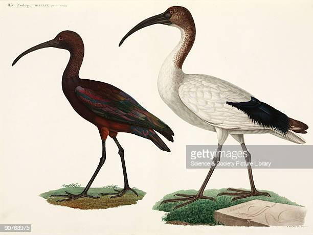 Engraving by Bouquet after Barraband and Redoute from the section on birds by JulesCesar Savigny in �Description de l'Egypte ou Recueil des...
