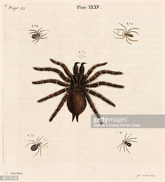 Engraving by James Smith after a drawing by Albin of a hairy tarantula and four smaller spiders From �A natural history of spiders and other curious...