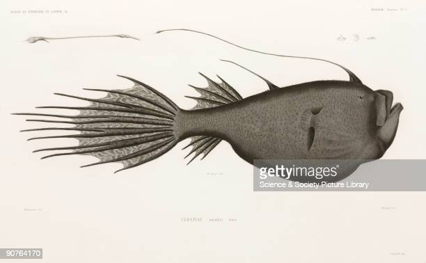 Engraving by Mougeot after Valenciennes of an angler fish which lures prey using the spine of the dorsal fin which is often luminous From 'Voyages de...