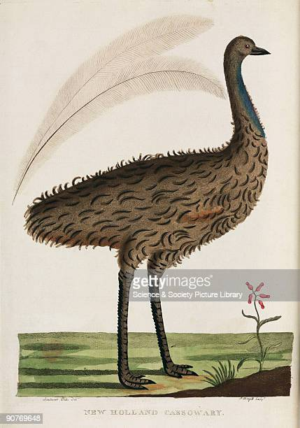 Engraving by P Mazell after Lieutenant Walts of what is probably an emu the flightless Australian bird which belongs to the same family as the...
