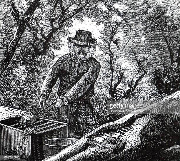 Engraving depicting a beekeeper collecting a swarm of bees from a hollow tree and putting them into a straw skep Dated 19th century