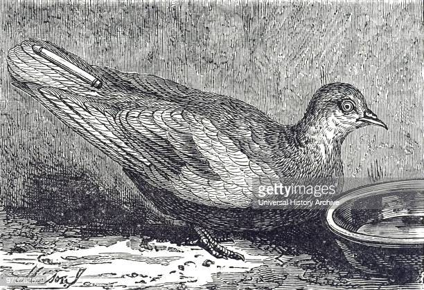 Engraving depicting a carrier pigeon with a photographic despatch attached to it's tail Dated 19th century