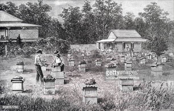 Engraving depicting a commercial apiary in Queensland Australia Dated 19th century