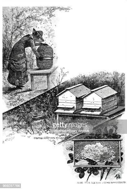 Engraving depicting a female beekeeper at work Top Driving bees from one skep into another in order to clear the combs The bees naturally move...
