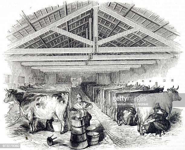 Engraving depicting a milking shed at Laycock's Dairy Highbury which supplied a large area of London with fresh milk There were milking's at 3 am and...