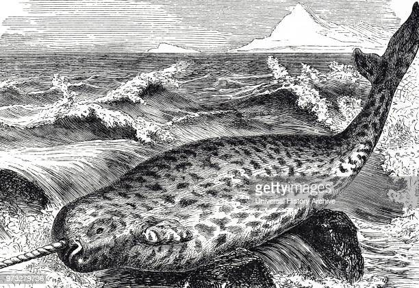 Engraving depicting a Narwhal a mediumsized toothed whale that possesses a large tusk from a protruding canine tooth It lives yearround in the Arctic...