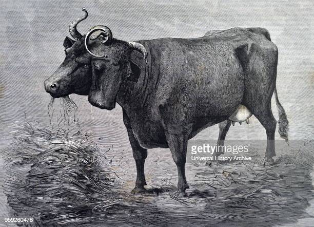 Engraving depicting a twoheaded cow which was exhibited in America The right head was the functional one although the left did dribble The cow had...