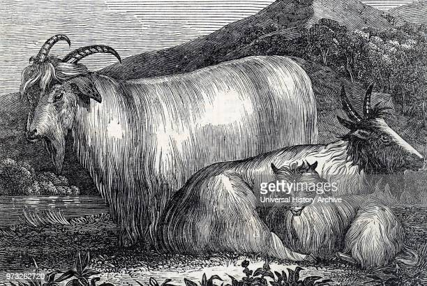 Engraving depicting an angora goat a breed of domesticated goat that produce the lustrous fibre known as mohair Dated 19th century