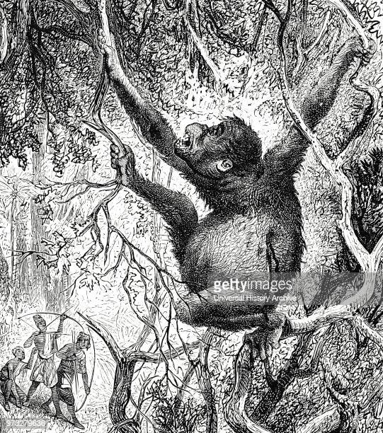 Engraving depicting an Orangutan killed by hunters in Sumatra Dated 19th century