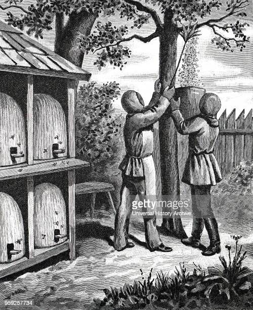 Engraving depicting beekeepers knocking a swarm into a container Hives with alighting boards in bee shelter on left Dated 19th century