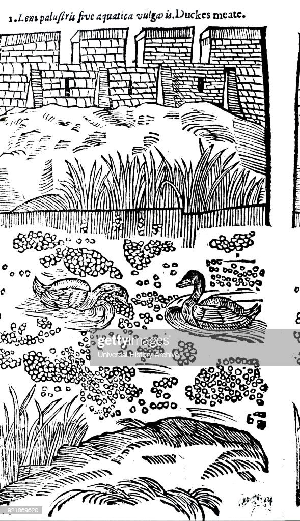 Engraving depicting ducks swimming in a moat amongst Duckweed or 'Duckes Meate'. Dated 17th century.