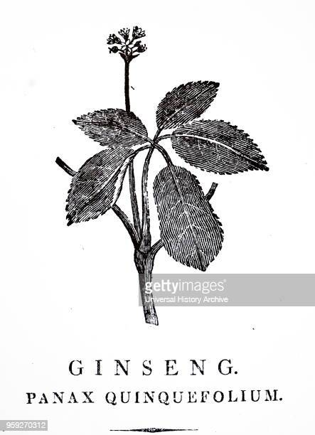 Engraving depicting part of a Ginseng plant Ginseng is any one of the species of slowgrowing perennial plants with fleshy roots belonging to the...