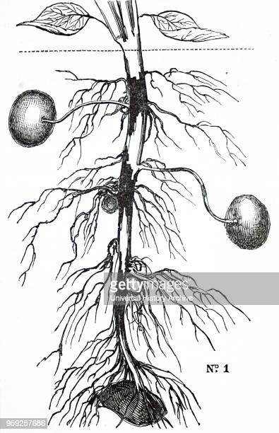 Engraving depicting potato blight Potato plant is suffering from 'gangrene' an effect of potato blight a fungal infection spread by aphids It was not...
