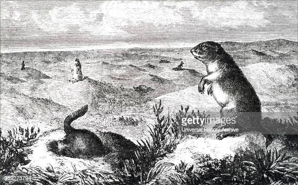 Engraving depicting prairie dogs Prairie dogs are herbivorous burrowing rodents native to grasslands of North America Dated 19th century