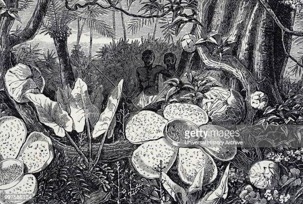 Engraving depicting Rafflesia a genus of parasitic flowering plants Dated 19th century