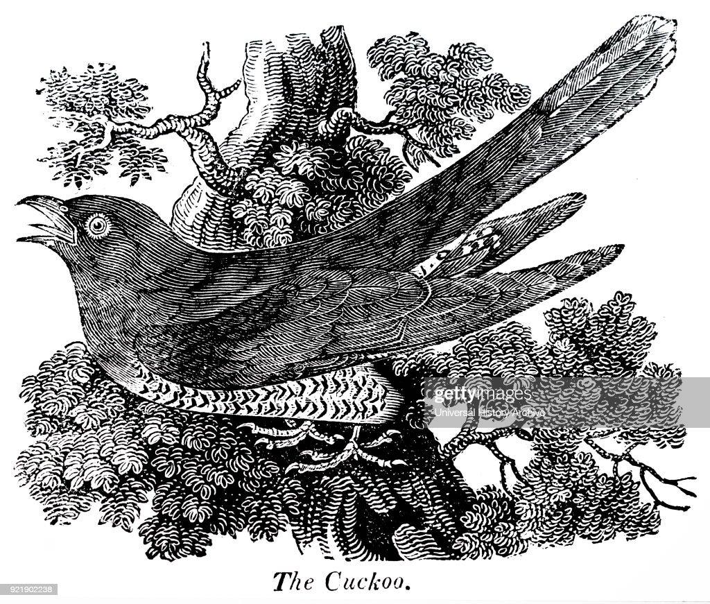 The Cuckoo. : News Photo