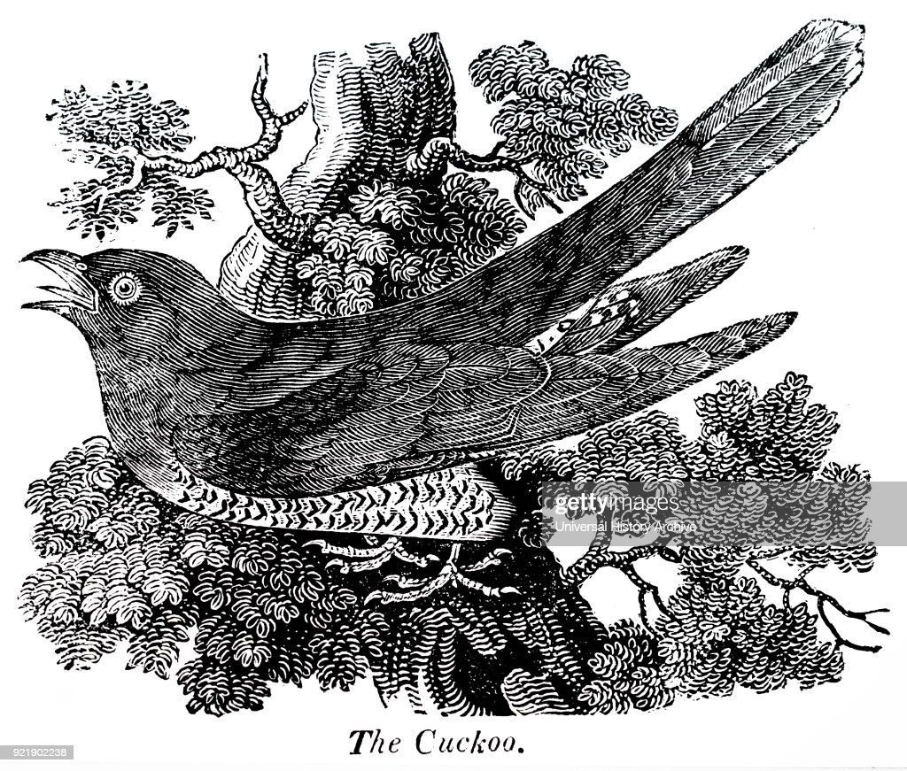 Engraving depicting the Cuckoo bird, one of a number of birds and animals with onomatopoeic names. Dated 19th century.