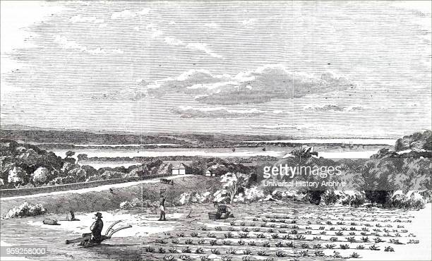 Engraving depicting the cultivation of arrowroot on the estate of Messrs Raw and Faggitt Durban Port Natal South Africa Dated 19th century