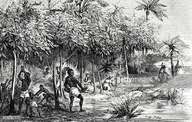 Engraving depicting the harvesting of cocoa in Mexico The taller trees in the plantation are bananas which are planted to shade the cocoa trees Dated...