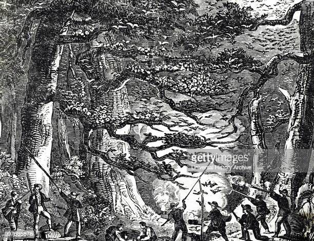 Engraving depicting the hunting of passenger pigeons an extinct species of pigeon that was endemic to North America Dated 19th century