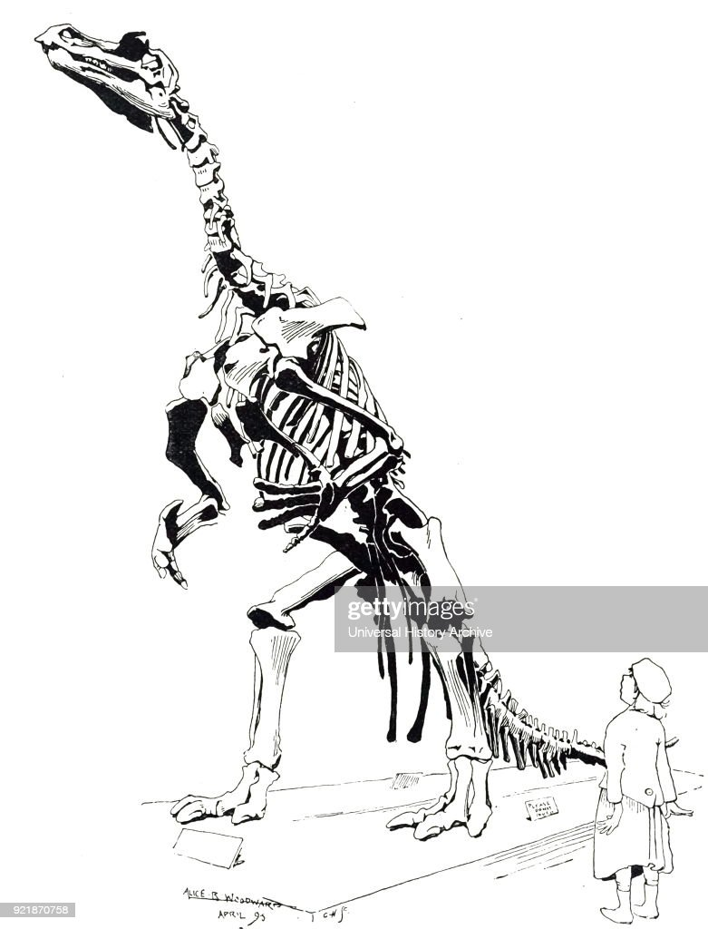 Engraving depicting the skeleton of a Iguanodon a genus of ornithopod dinosaur that existed roughly halfway between the first of the swift bipedal hypsilophodontids of the mid-Jurassic and the duck-billed dinosaurs of the late Cretaceous. Dated 19th century.