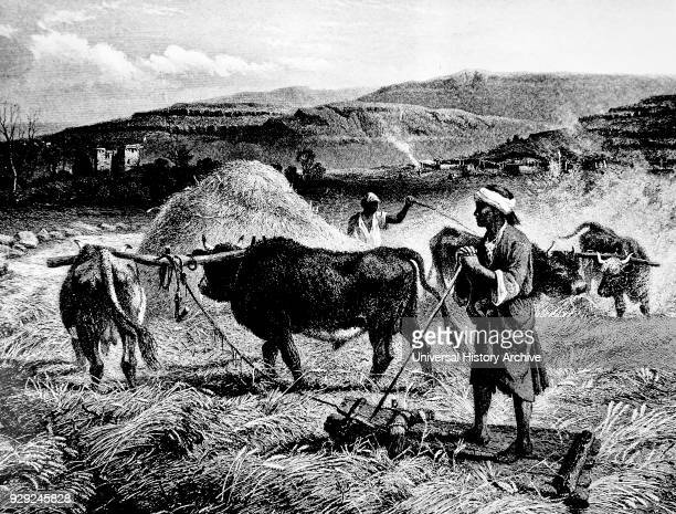 Engraving depicting the threshing of corn with oxen and a wooden sledge Engraved by Charles Cousen an English engraver Dated 19th Century