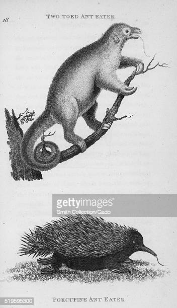 Engraving depicting two ant-eaters, at the top a Two-Toed Ant-Eater, on a branch, its tongue sticking out, and at the bottom a Porcupine Ant-Eater,...