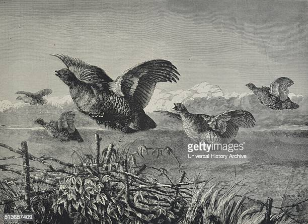 Engraving depicts a covey of partridges in flight Dated 1870