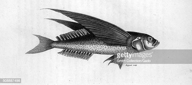 Engraving from an illustration of an oceanic flying fish 1809 From the New York Public Library