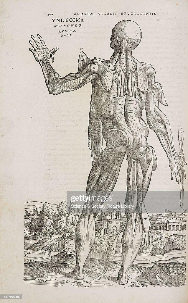 Engraving From Andreas Vesaliuss Greatest Work De Humani Corporis