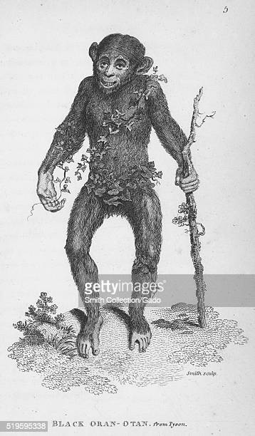 Engraving of a Black OranOtan standing on two feet holding a walking stick vines wrapped around his body found in the book 'Zoological Lectures...