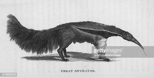 """Engraving of a Great Ant-Eater, in profile, standing, his tongue sticking out, found in the book """"Zoological Lectures Delivered at the Royal..."""