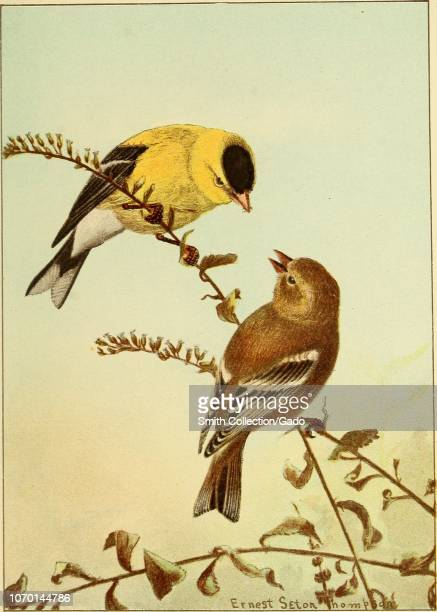 Engraving of the American Goldfinch adult female and male in winter from the book Birdlife a guide to the study of our common birds by Frank Michler...