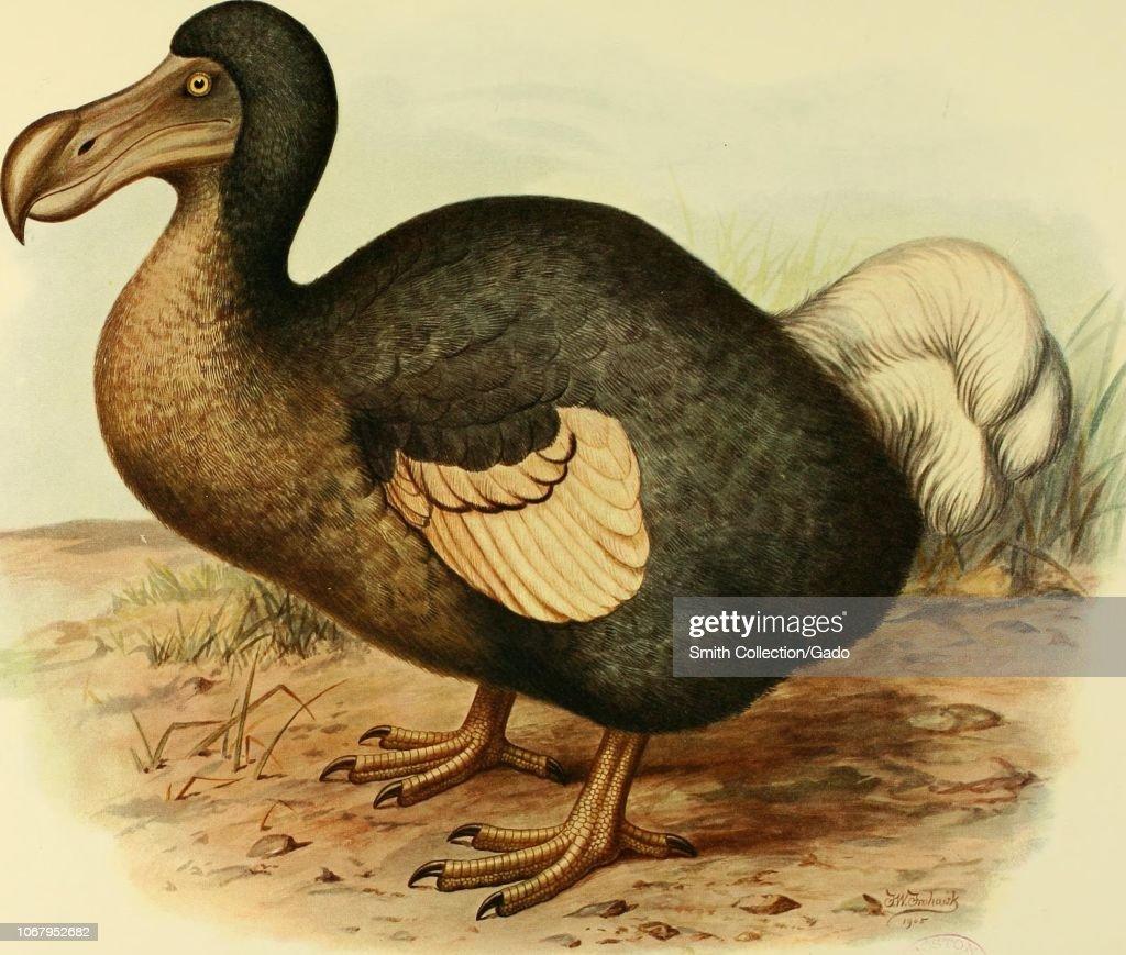 Dodo Bird : News Photo