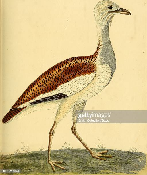 Engraving of the Great Bustard female from the book A natural history of birds by Eleazar Albin William Derham and Jonathan Dwight 1731 Courtesy...