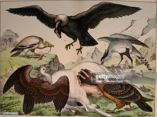 Engraving of the Vultures feasting on the horse's corpse Egyptian Vulture Griffin Vulture Condor Bearded Vulture and Secretary Bird from the book...