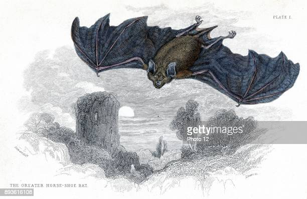 Engraving showing a Greater Horseshoe Bat published in 1838