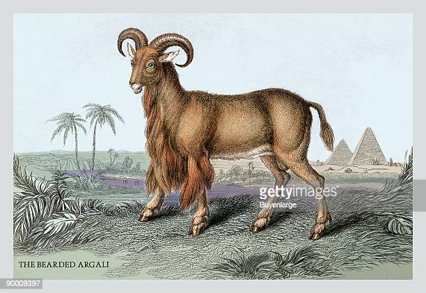 Engravings of horned mammals in natural settings hand tinted