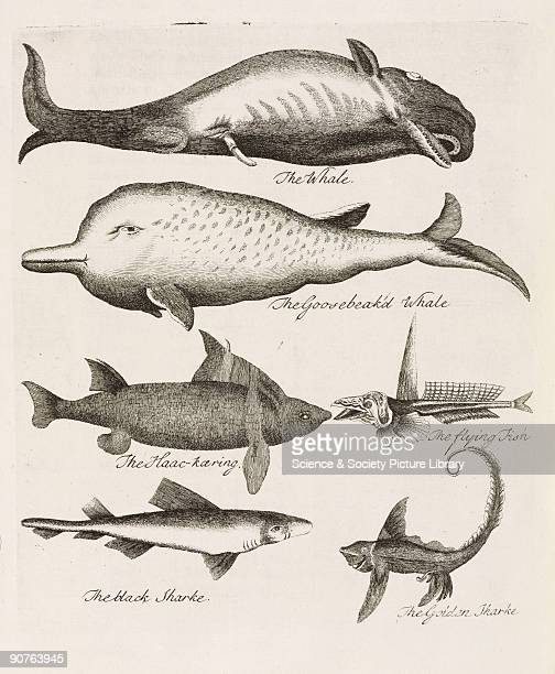 Engravings some of which are rather fanciful of �the Whale the Goosebeak'd Whale the Haackaring [called HaaeKierling in the text a type of shark] the...