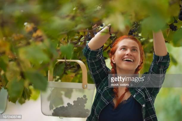 godere della raccolta dell'uva - romania foto e immagini stock