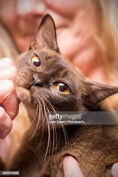 enjoying a scratch - burmese cat stock pictures, royalty-free photos & images