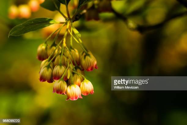 enkianthus campanulatus - william mevissen bildbanksfoton och bilder