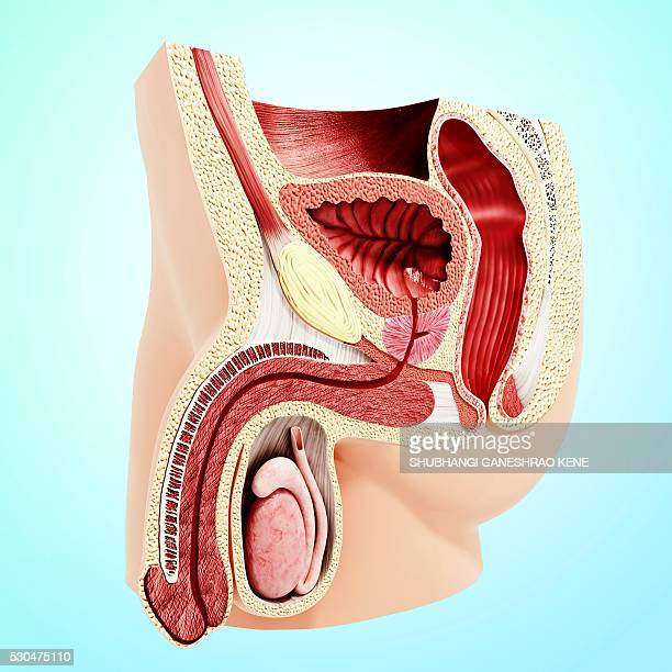 enlarged prostate, computer artwork. - urethra stock pictures, royalty-free photos & images