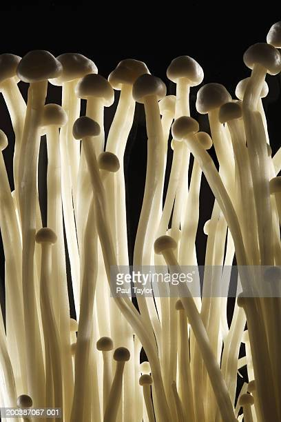 enoki mushrooms - enoki mushroom stock pictures, royalty-free photos & images