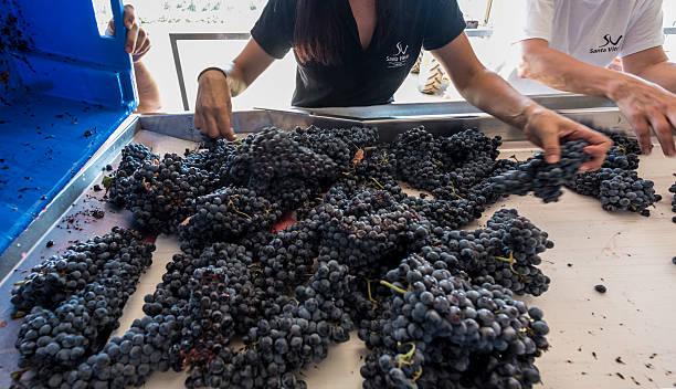 Enologist Patricia Peixoto coaches visitors helping to gather the grape harvest of the Touriga Nacional variety at Santa Vitoria winery on September...