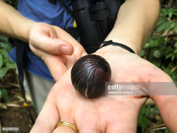 enormous pill bug curled up on woman's hand in bornean jungle - potato bug stock pictures, royalty-free photos & images