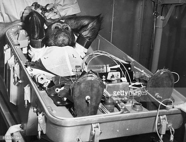 Enos a 5 1/2 year old space chimpanzee reclines in the flight couch in which he is about to make his space flight from Cape Canaveral Florida USA on...